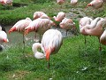 Flamingoes grooming