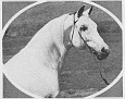 AALZAR #7984 (Azkar x Aahlwe, by Khaleb) 1952 grey stallion bred by Ben Hur Farms/ Henry & Blanche Tormohlen; sired 83 registered purebreds