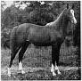 AARAF #2748 (*Raffles x Aarah, by Ghadaf) 1943-1969 chestnut stallion bred by Ben Hur Farms/ Henry & Blanche Tormohlen; sired 132 registered purebreds