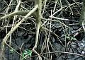 Mangrove tree roots visible from walk at JJ's