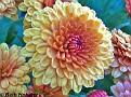 Chrysanthemum001