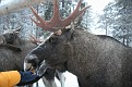 Vittangi Moose Park (8)