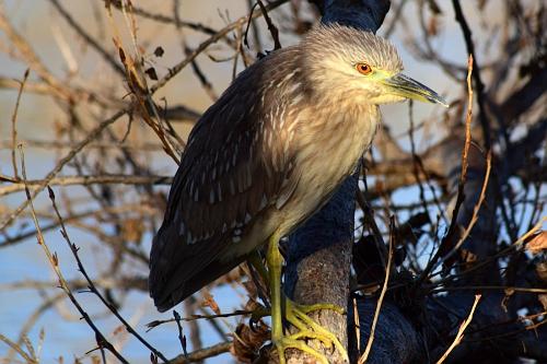 young Black Crowned Nigh Heron