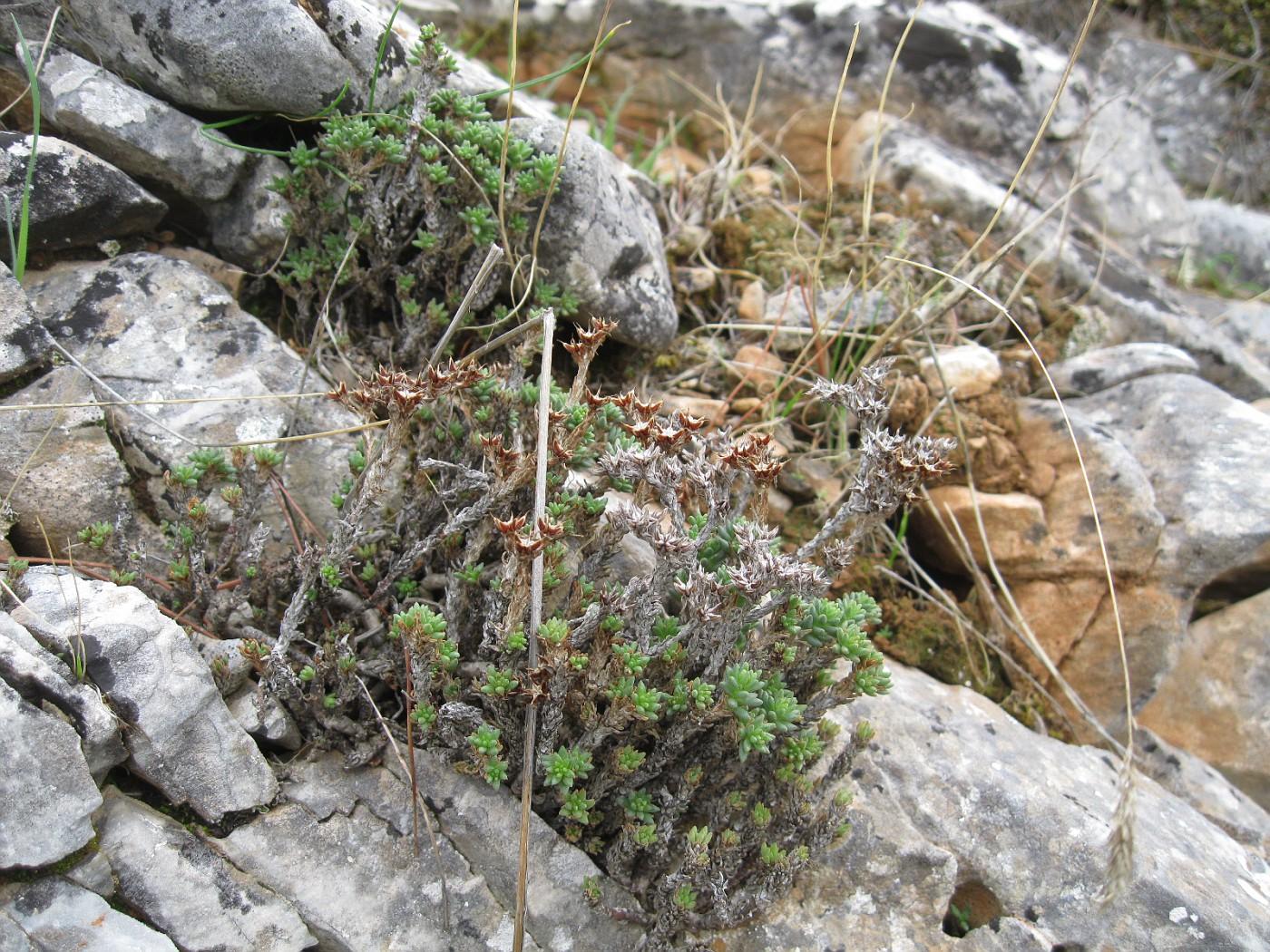 Sedum urvillei  Sedum hymettium (1)
