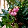 Begonia carolineifolia (2)