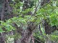 Gleditsia sinensis (3)