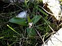 Orchis lactea (9)-001