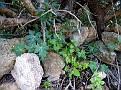 Bryonia cretica (7)