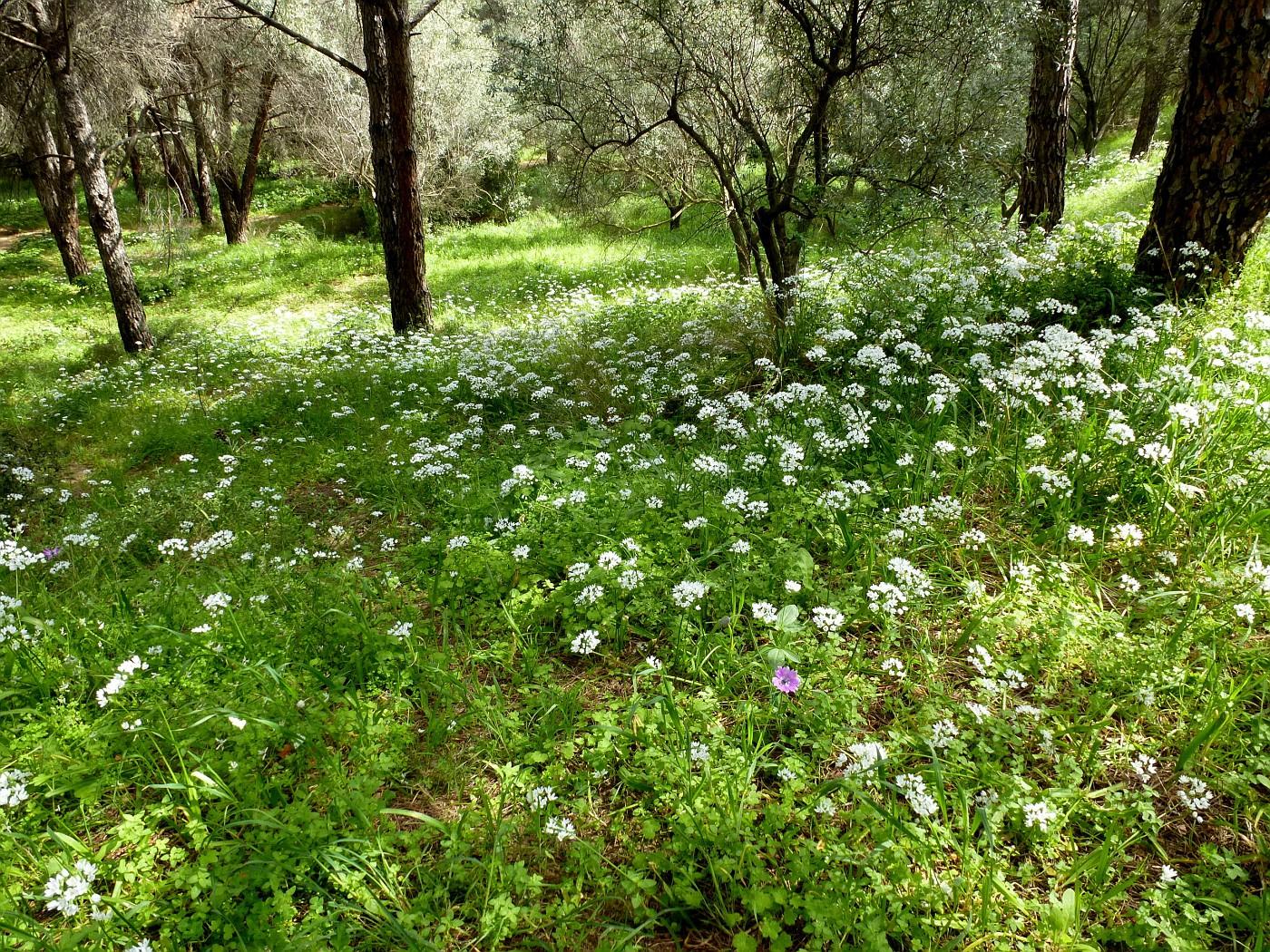 Allium neapolitanum (6)