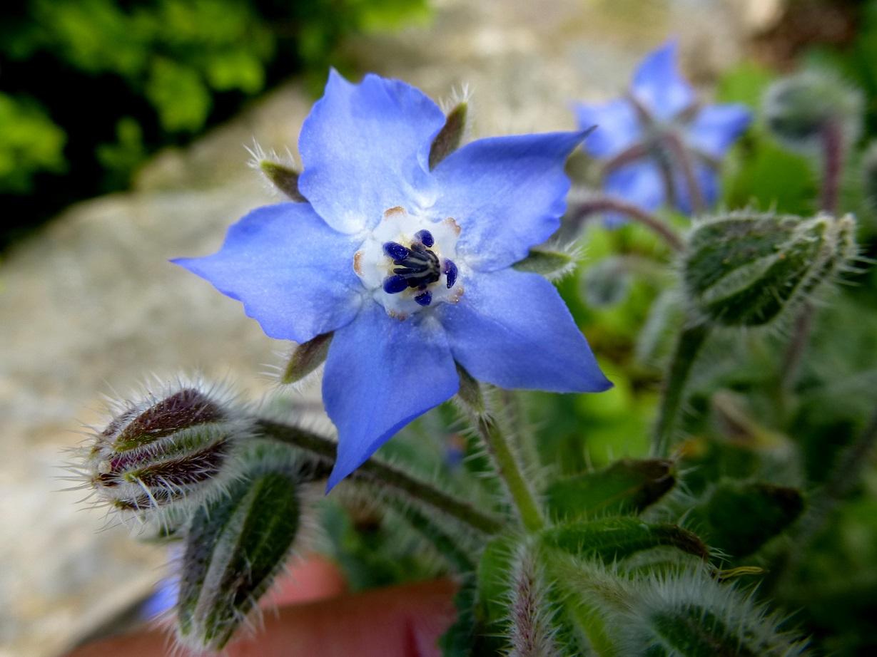 Borago officinalis (3)