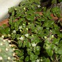 Crassula browniana (6)