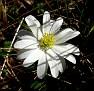 anemone bla (6)