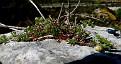 Anthemis peregrina subsp heracleotica (1)