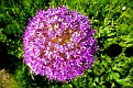 Allium giganteum (1)