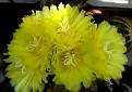 Notocactus  (10)