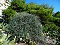 Ephedra foeminea (1)