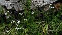 Allium neopolitanum (5)