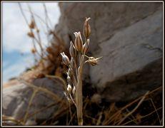 Allium hirtovaginatum (62)