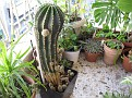 Echinopsis sp