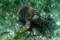 This turtle was always surrounded by fishes looking for food around it.