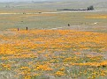 Poppy Reserve2008 007.jpg
