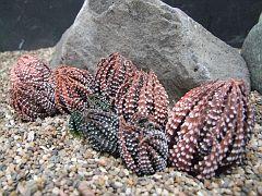 Haworthia reinwardtii Swele Swele IB 8552 14-5-2009 15-19-25.JPG