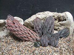 Haworthia reinwardtii v chalumnensis Ne Chalumna ex Bob Swan-952 CG696.JPG
