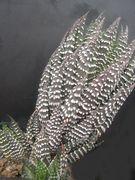 Haworthia reinwardtii Kwa Sandile IB8540w.JPG
