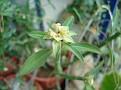 Euphorbia pteroneura