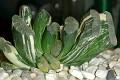 Haworthia truncata variegated cv. Japan