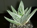 X Gasteraloe 'green ice'