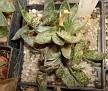Gasteria bicolor v. lilliputana