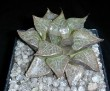 Haworthia comptoniana,Willowmore