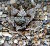 Haworthia cv. Michael Cocozza -cc1055