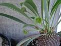 Euphorbia bupleurifolia -10381,Cape Province.