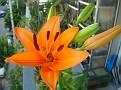 Lilium sp