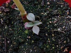 Kalanchoe lucile-allorgei 3 seedling