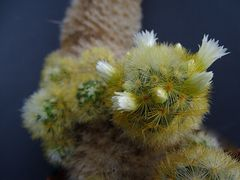 Mammillaria carminae