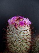 Mammillaria bombycina special spined FA