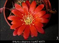 Rebutia rubiginosa Lau407 (0277)