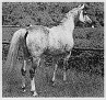 ANDRUT #272252 (Negatiw x Andorra, by *Pietuszok) 1967 grey stallion; exported from Poland to the Netherlands 1982; then to the US 1983. Sired 20 registered purebreds in the US before exported to Germany 1993.