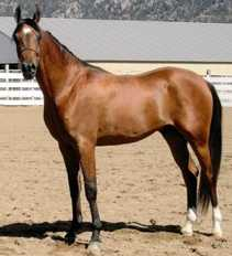 IFTAKAR BASK #597930 (Bask El Pasha x RA Caress, by Farreef) 2002 bay gelding
