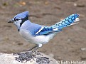 BlueJay006