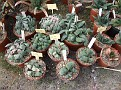 13 Gasteria collection. glomerata