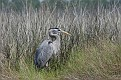 Heron in Tall Grass #3