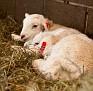 S12 Lambs-6
