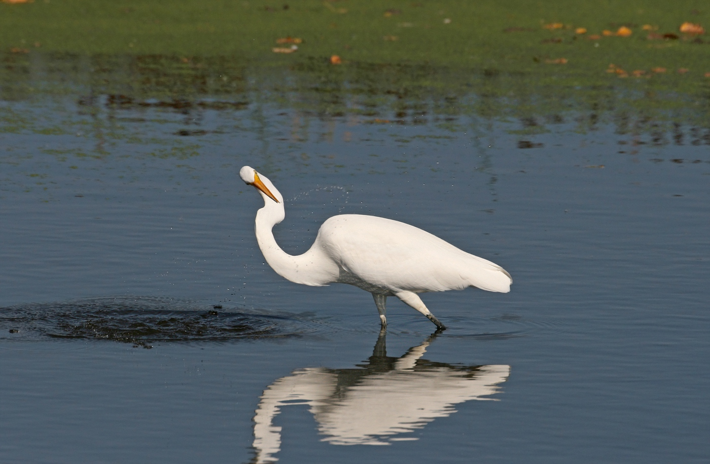 Egret #15
