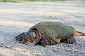 Snapping Turtle #5
