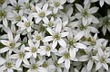 Tufted Star of Bethlehem #11