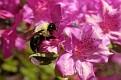 Bumblebee and Azalea Blossoms